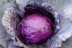 圆白菜叶子紫色蔬菜 图库摄影
