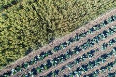 圆白菜和麦子在一个领域在阿尔萨斯,法国 库存图片