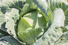 圆白菜在庭院里增长 背景wi Th一个大圆白菜特写镜头 库存图片