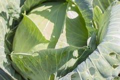 圆白菜在庭院里增长 背景wi Th一个大圆白菜特写镜头 库存照片