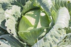 圆白菜在庭院里增长 背景wi Th一个大圆白菜特写镜头 图库摄影