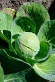 圆白菜在庭院里 库存图片