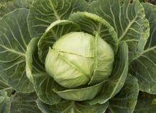 圆白菜在庭院里 免版税库存照片