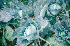 圆白菜在庭院里 免版税图库摄影