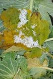 圆白菜域增长的叶子 免版税库存照片