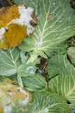 圆白菜域增长的叶子 库存照片
