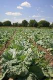 圆白菜域生长蔬菜 免版税库存图片
