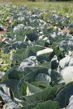 圆白菜域生长蔬菜 免版税图库摄影