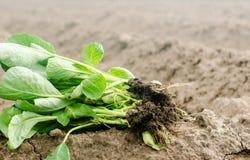 圆白菜幼木准备好种植在领域 种田,农业,菜,工农业 图库摄影