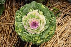 圆白菜庭院装饰物 图库摄影