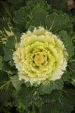 圆白菜庭院装饰物 库存图片