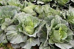 圆白菜庭院 免版税库存照片