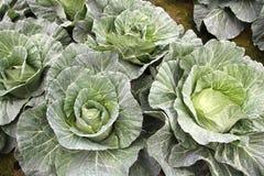 圆白菜庭院 库存图片