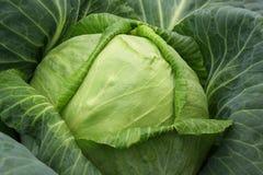 圆白菜接近的题头 库存图片