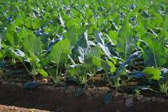 圆白菜撇蓝的领域 库存照片