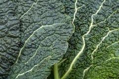 圆白菜新鲜的叶子开胃菜 免版税库存照片
