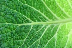 圆白菜查出的叶子成熟开胃菜白色 图库摄影