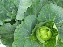 圆白菜植物 免版税图库摄影