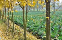 圆白菜瓷银杏pengzhou结构树 图库摄影