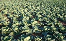 圆白菜生产 图库摄影