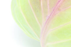 圆白菜的特写镜头图片 免版税库存图片