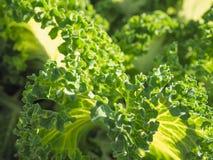 圆白菜的耕种 在一个领域的圆白菜绿色头在农场 圆白菜的领域 圆白菜大叶子  免版税库存照片