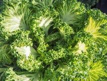 圆白菜的耕种 在一个领域的圆白菜绿色头在农场 圆白菜的领域 圆白菜大叶子  库存照片
