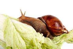 圆白菜离开蜗牛 免版税库存图片