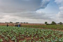 圆白菜种植园在卡宾达市 安格斯 闹事 库存图片