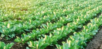 圆白菜种植园在领域增长 菜行 种田,农业 与农田的风景 庄稼 有选择性的fo 免版税库存图片