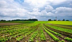 圆白菜种植园 免版税库存图片