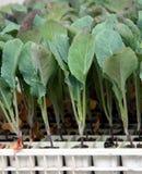 圆白菜种植年轻人 库存照片