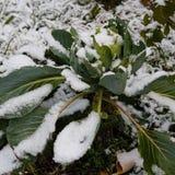 圆白菜第一片积雪的绿色叶子  免版税库存图片