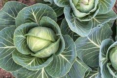 圆白菜绿色年轻人 库存图片
