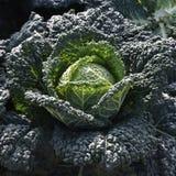 圆白菜耕种 库存图片