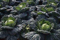 圆白菜耕种 库存照片