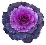 圆白菜花紫色 库存照片
