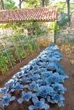圆白菜菜在后院庭院里 免版税库存图片