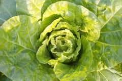 圆白菜菜 库存照片