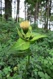 圆白菜蓟(Cirsium oleraceum) 库存图片