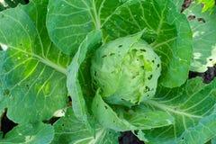 圆白菜被吃的昆虫和虫一个农业领域的 免版税图库摄影