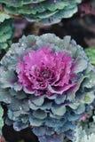 圆白菜装饰紫色 装饰庭园花木花芸苔或无头甘蓝花紫色装饰植物 免版税库存图片