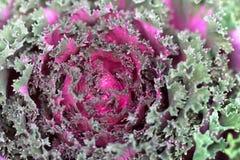 圆白菜装饰紫色 免版税库存照片