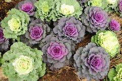 圆白菜装饰紫色 库存图片