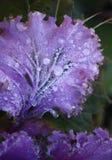 圆白菜装饰紫色 免版税库存图片