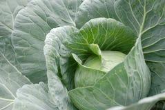圆白菜顶头蔬菜 免版税图库摄影