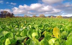 圆白菜领域在一个明亮的晴天 免版税库存图片