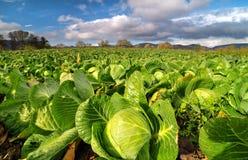 圆白菜领域在一个明亮的晴天 库存图片