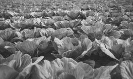 圆白菜领域在充分地准备好成熟的阶段收获新近地增长的圆白菜领域风景视图  顶头白色 免版税库存图片