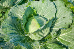 圆白菜头在菜园里 库存图片